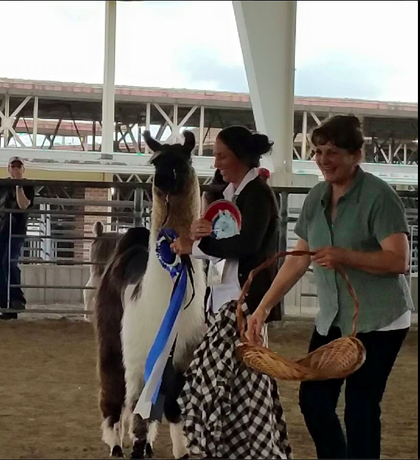 "Tabbethia Haubold won the LFA best of show male with Solid Rock's Sir Arthur. He also won his class in both ""fleece on"" and the Medium Wool Yearling Class in the ILR show and was named Champion Composite Llama!"