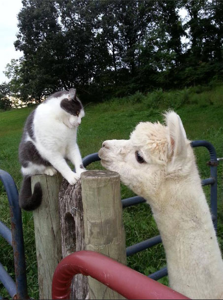 Lama-and-Cat